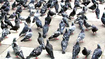 Pigeons small